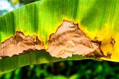 Przywiędły zielony bananowy liść z kolorem żółtym i brąz barwimy obręcz zdjęcia royalty free