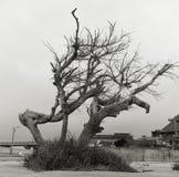 Przywiędli drzewa zdjęcie royalty free