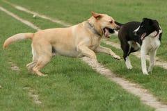 psów bawić się Obrazy Royalty Free