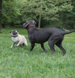 psów bawić się Zdjęcia Stock