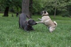 psów bawić się Obraz Stock