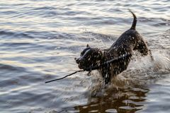 Psów mrozy wokoło wody Zdjęcie Royalty Free