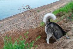 Psów wykopalisk dziura w piasku na plaży Gruzły uziemiają latanie spod jego łap w różnych kierunkach Spacer z zwierzęciem domowym obraz stock