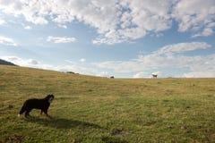 Psów zegarki przy końskim bieg uwalniają przez zielonej doliny Zdjęcie Stock