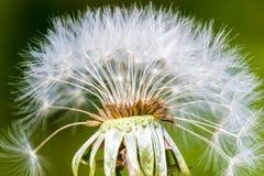 PS bianco di verde del macro del dente di leone di Blowball del seme della testa fiore del fiore Fotografie Stock Libere da Diritti