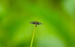 PS d'Amata de mite de tigre roosting sur une lame d'herbe en parc national de Khao Yai, la Thaïlande Photos libres de droits