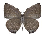 PS d'Arhopala de papillon underside images stock