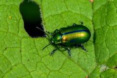PS d'Oreina scarabée, grossglockner Images stock