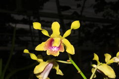 PS de Dendrobium aff busuangese Photographie stock libre de droits