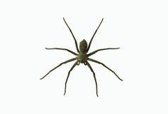 PS de LYCOSA d'araignées de loup Photographie stock libre de droits