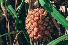 PS de Pandanus de Pandan avec un fruit mûr Photographie stock
