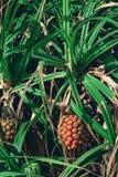 PS de Pandanus de Pandan avec un fruit mûr Photos stock