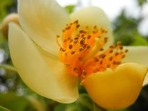 PS de Schima macro plan rapproch? tir? de fleur petaled jaun?tre photo libre de droits