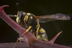 PS del Eumenes vespa che posa sul ramo marrone immagini stock