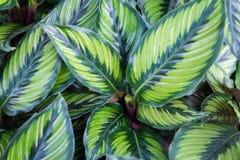PS del Philodendron Reticolo immagini stock