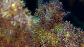 PS di corallo molle appuntito di Dendronephthya 2 del Mar Rosso Sudan archivi video