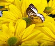 PS di Delias Farfalla Immagine Stock Libera da Diritti
