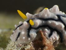 PS di Nudibranch Phyllidiid Fotografia Stock Libera da Diritti