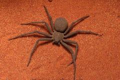 PS sei-osservato molto veloce e terrificante di Sicarius del ragno della sabbia fotografie stock libere da diritti