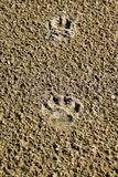 Psa ślad w piasku Pies chodził wzdłuż seashore i opuszczał ślada w piasku Zdjęcia Stock