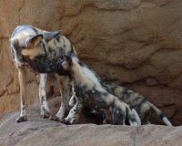 Psa afrykanina polowanie Obraz Stock