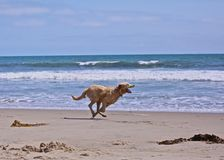 Psa bieg plaża obraz stock