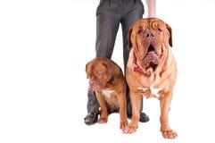 psa biel dwa obrazy royalty free