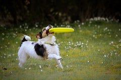 psa grającego w zdjęcie stock