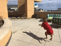psa grającego w fotografia royalty free