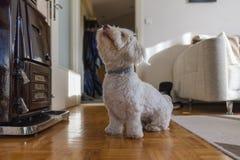 psa grającego w Zdjęcia Royalty Free