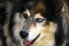 psa husky zdjęcia stock