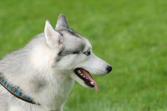 psa husky zdjęcie stock