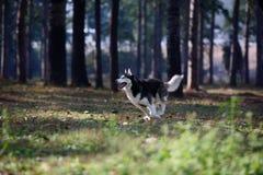 psa husky Obraz Royalty Free