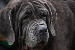 psa jęzor portreta jęzor Obraz Stock