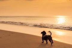 psa na plaży grać Fotografia Royalty Free