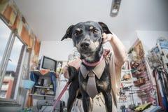 Psa odzieżowy pomiar Zdjęcie Royalty Free