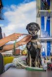 Psa odzieżowy pomiar Zdjęcia Royalty Free