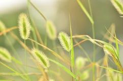 Psa ogonu trawa w polu w jesieni Zdjęcie Royalty Free