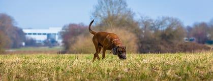 Psa policyjnego psi gmeranie ślad zdjęcia royalty free