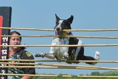 Psa przedstawienie Obrazy Royalty Free