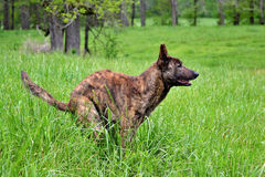 Psa Rolne pozy dla Jego fotografii w polu Obraz Royalty Free
