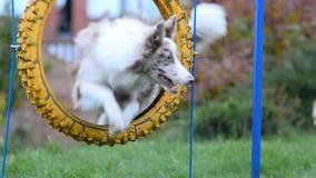 Psa skok przez koła zbiory wideo
