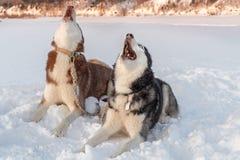 Psa wycie Syberyjskich husky psy wą podnoszący ich kaganów w górę zimy tła przeciw obraz royalty free