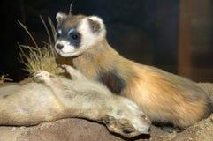 psa wyderkowa ofiara preria u ssaków Fotografia Royalty Free
