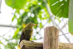 Psarocolius viridis zwrotnika zielony ptak siedzi na drewnianym biurku, tropikalny las, zieleni liście w bacground Zdjęcia Royalty Free