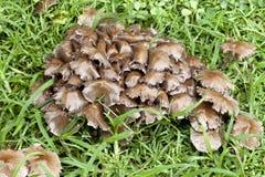 Gruppe der Pilze - Psathyrella Lizenzfreie Stockfotos