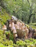 Psathyrella multipedata. Group of mushrooms in the trunk of a tree Royalty Free Stock Photo