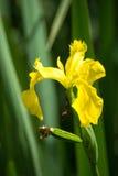 Pseudacorus d'iris d'†d'iris de drapeau jaune « Image libre de droits