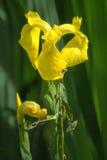 "Pseudacorus Iris †Iris der gelben Flagge "" Lizenzfreies Stockbild"