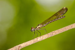 Pseudagrion microcephalum - Portrait of damselfly Stock Image